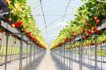 イチゴのハウス.jpg